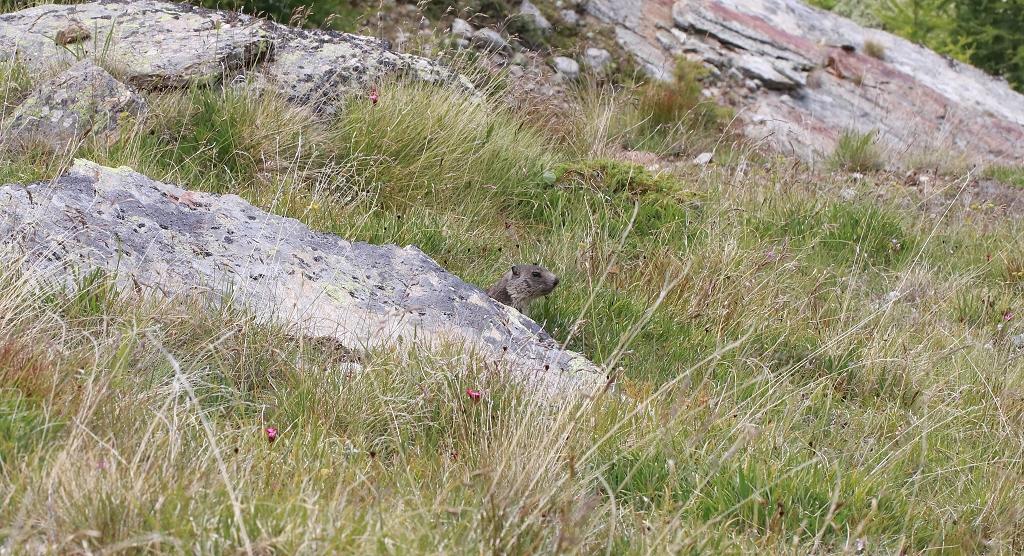 Murmeltier auf dem Almageller Höhenweg