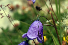 Kleine Glockenblume auf dem Almageller Höhenweg