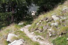 Schafe voraus