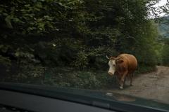 Kuh am Straßenrand - Nicht ungewöhnlich in Bosnien und Herzegowina