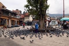 Taubenschwärme am Sebijl