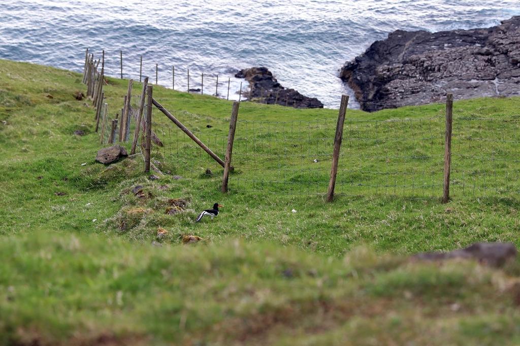 Der Nationalvogel der Färöer, der Austernfischer