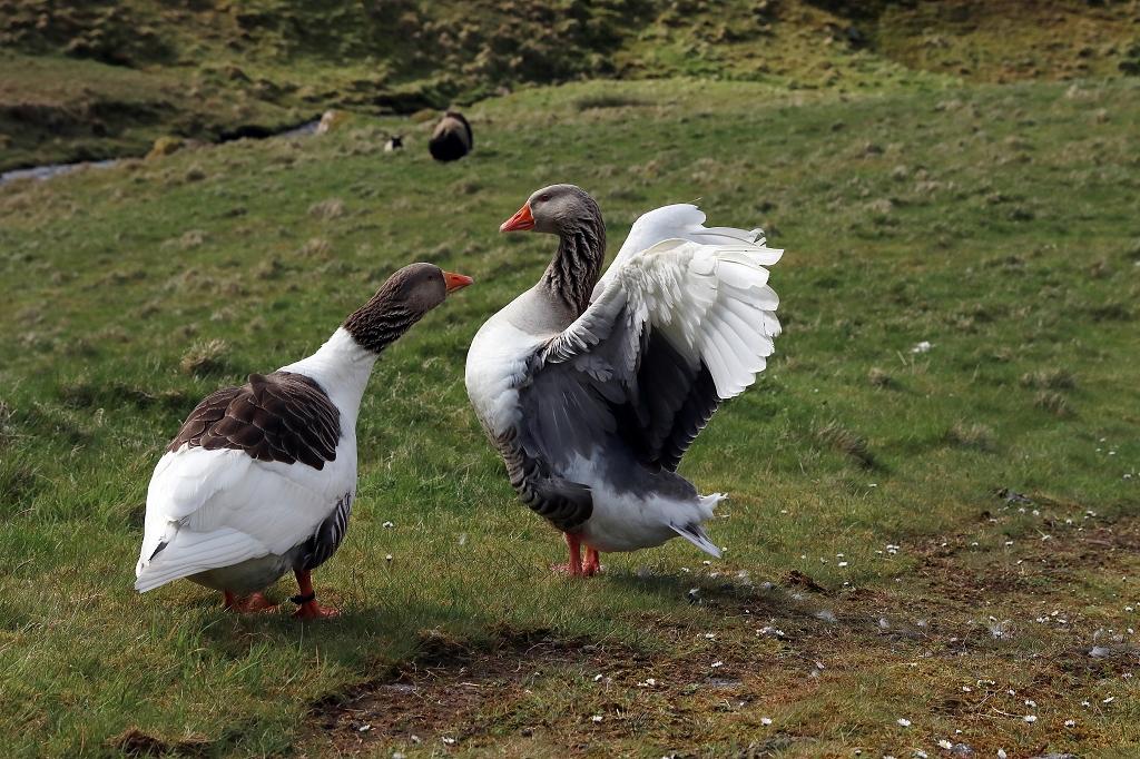 Färöische Gans