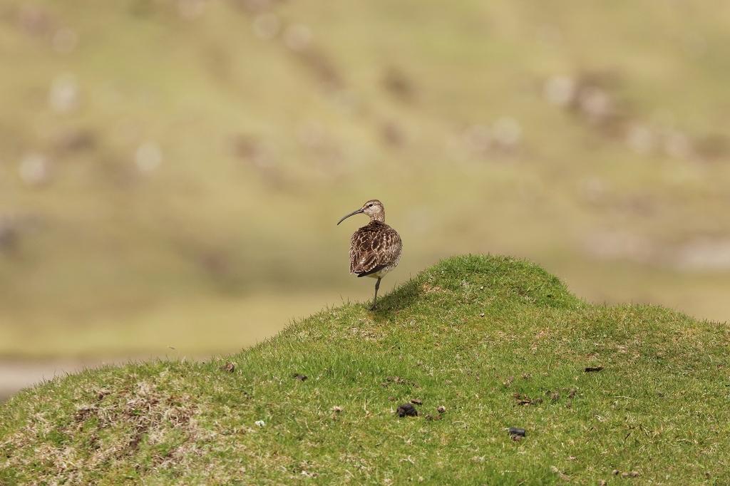 Regenbrachvogel auf den Färöern