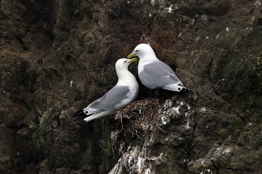 Dreizehenmöwe (black-legged kittiwake)