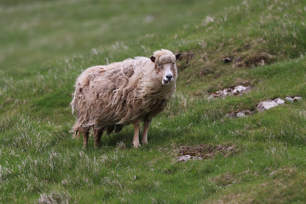 Schaf auf Mykineshólmur