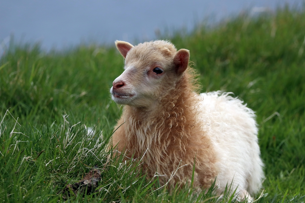 Lamm auf Mykineshólmur