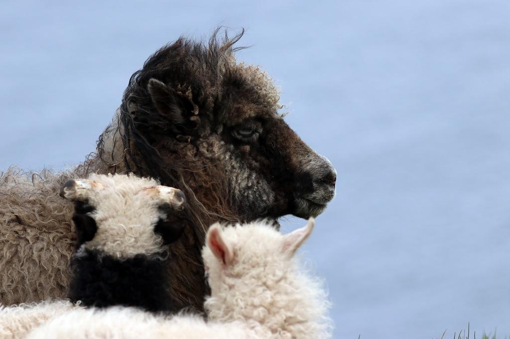 Schafsfamilie auf Mykineshólmur