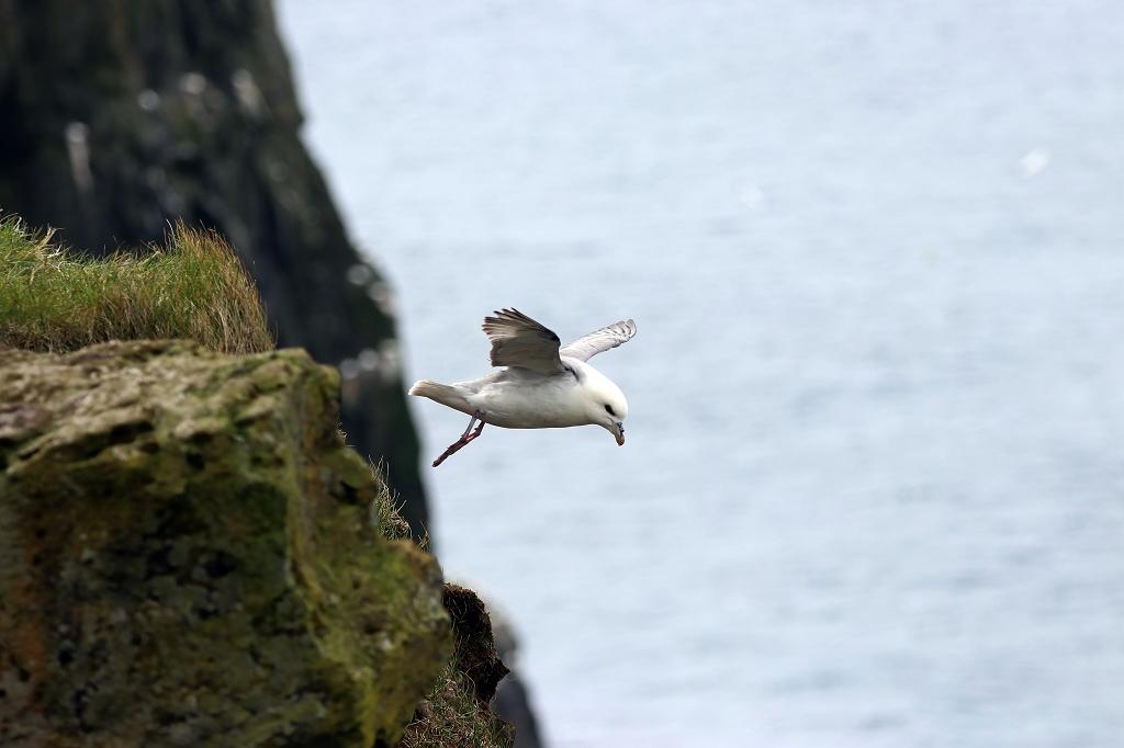 Eissturmvogel (Fulmar) auf Mykineshólmur