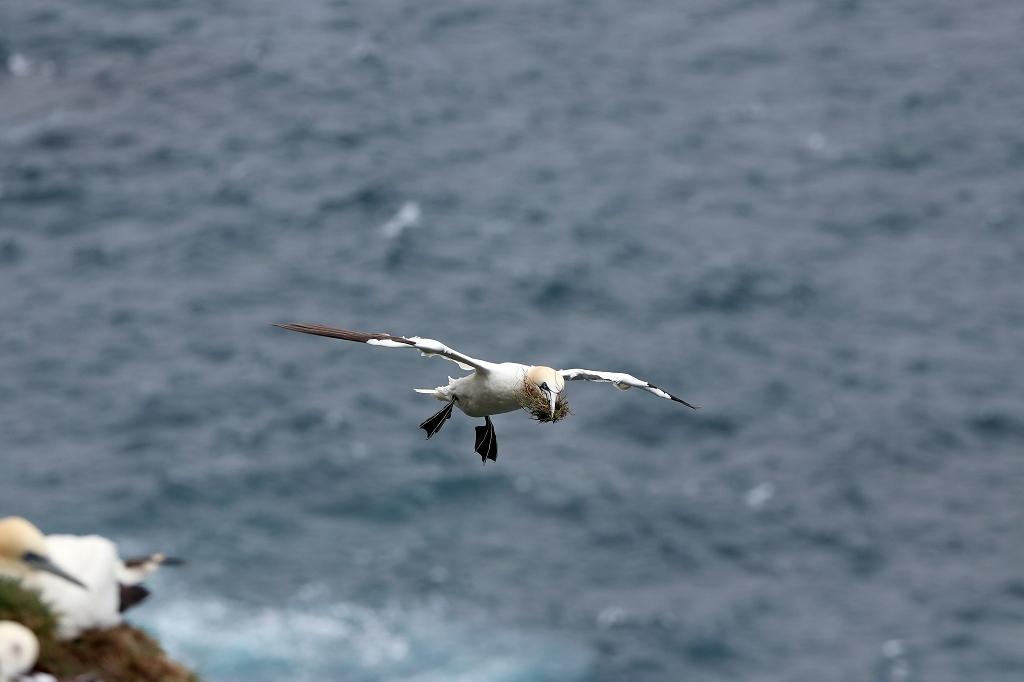 Basstölpel (Gannet) mit Nistmaterial im Flug auf Mykineshólmur