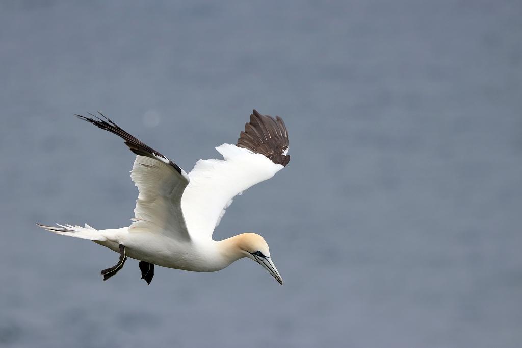 Basstölpel (Gannet) im Flug auf Mykineshólmur