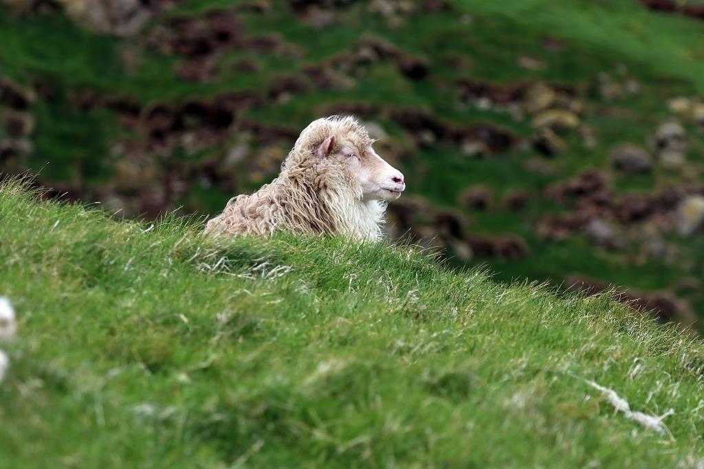Schaf auf Mykineshólmur, Färöer