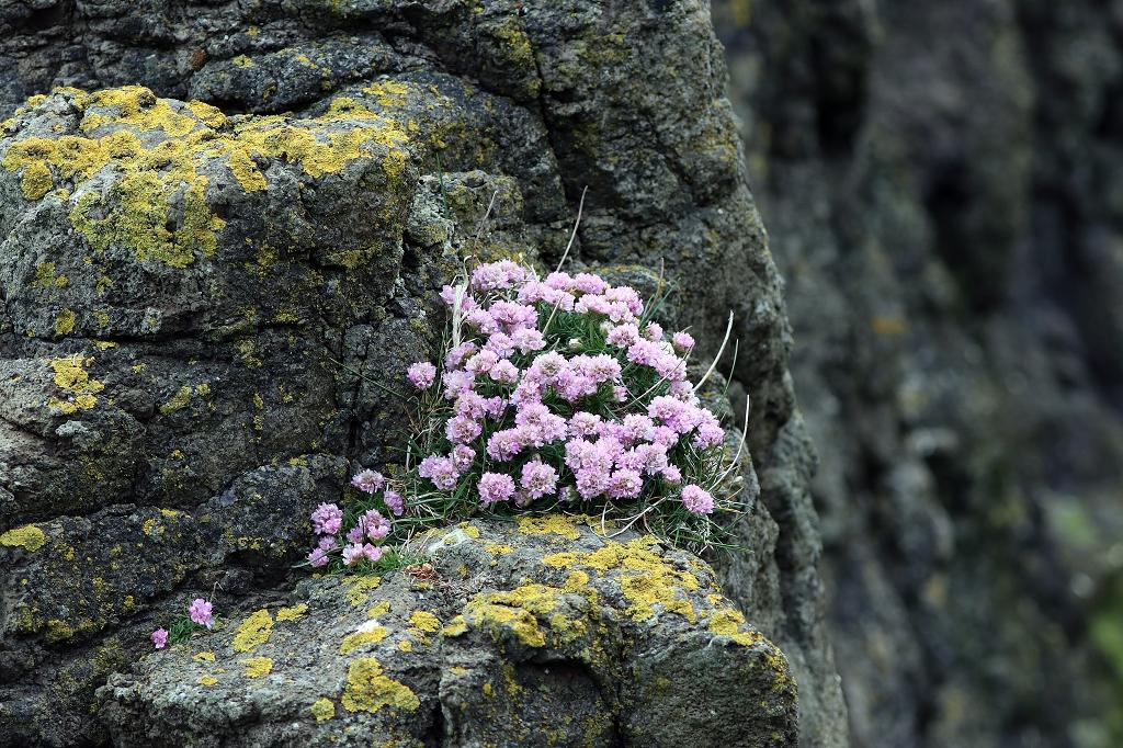 Bunte Flora auf Mykineshólmur