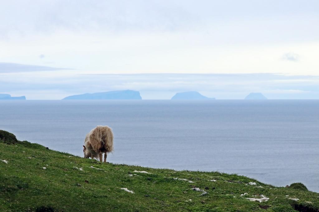 Schafe und noch mehr Schafe auf Mykines