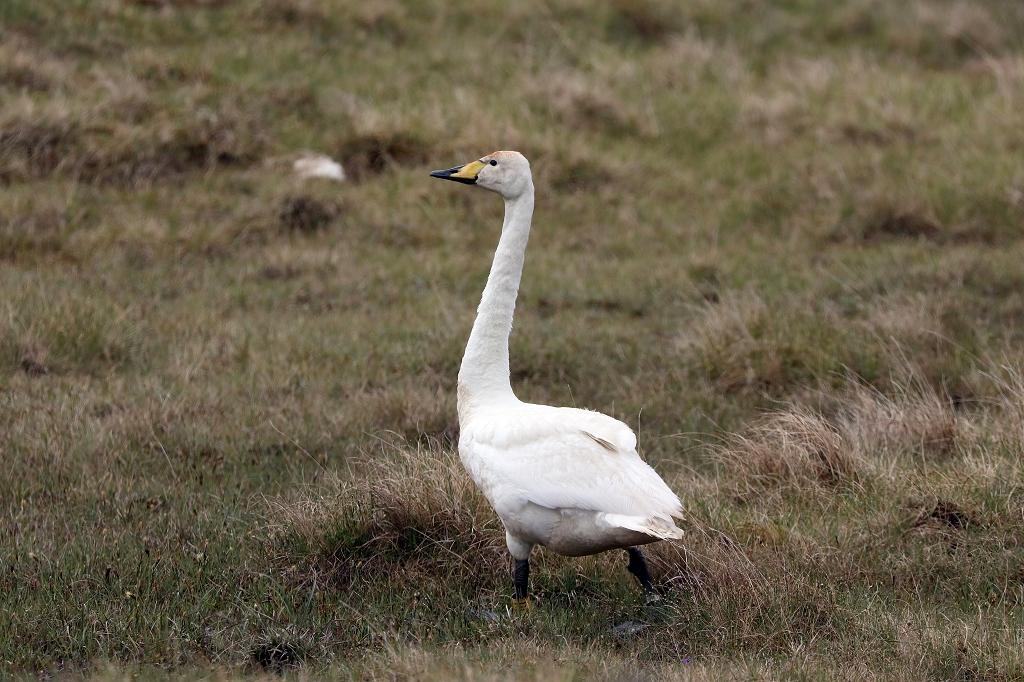 Singschwan (Whooper Swan) auf den Färöer