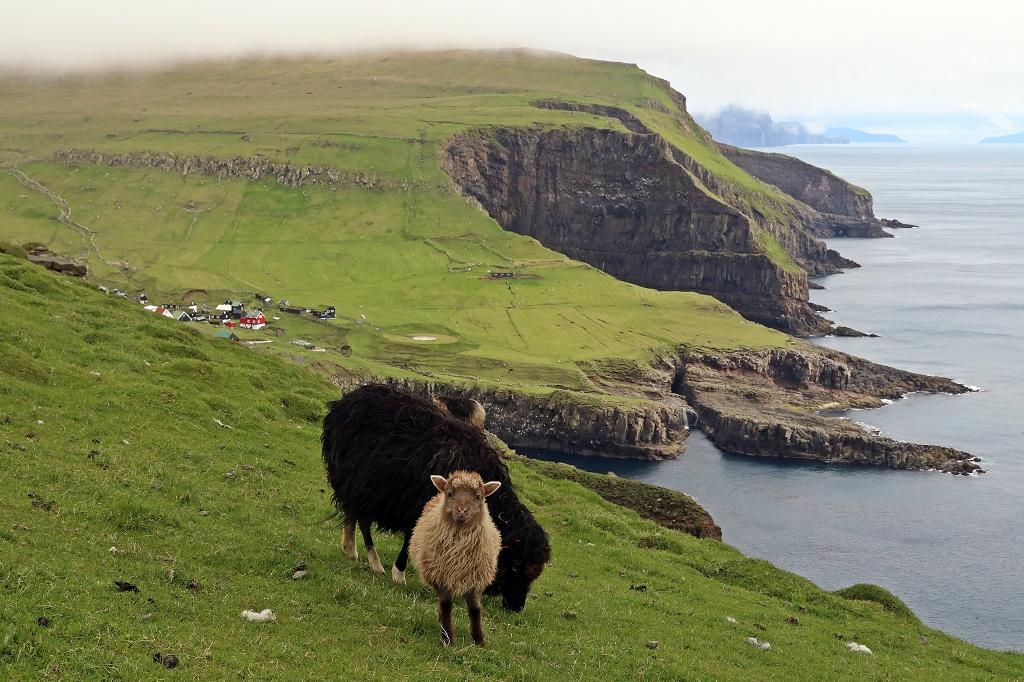 Schafe und Landschaft gehören auf Mykines zusammen