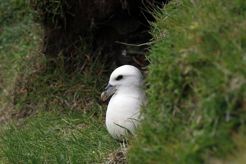Eissturmvogel (Fulmar) auf Mykines