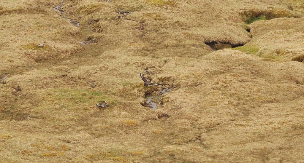 Große Raubmöwe (Skua) auf den Färöer