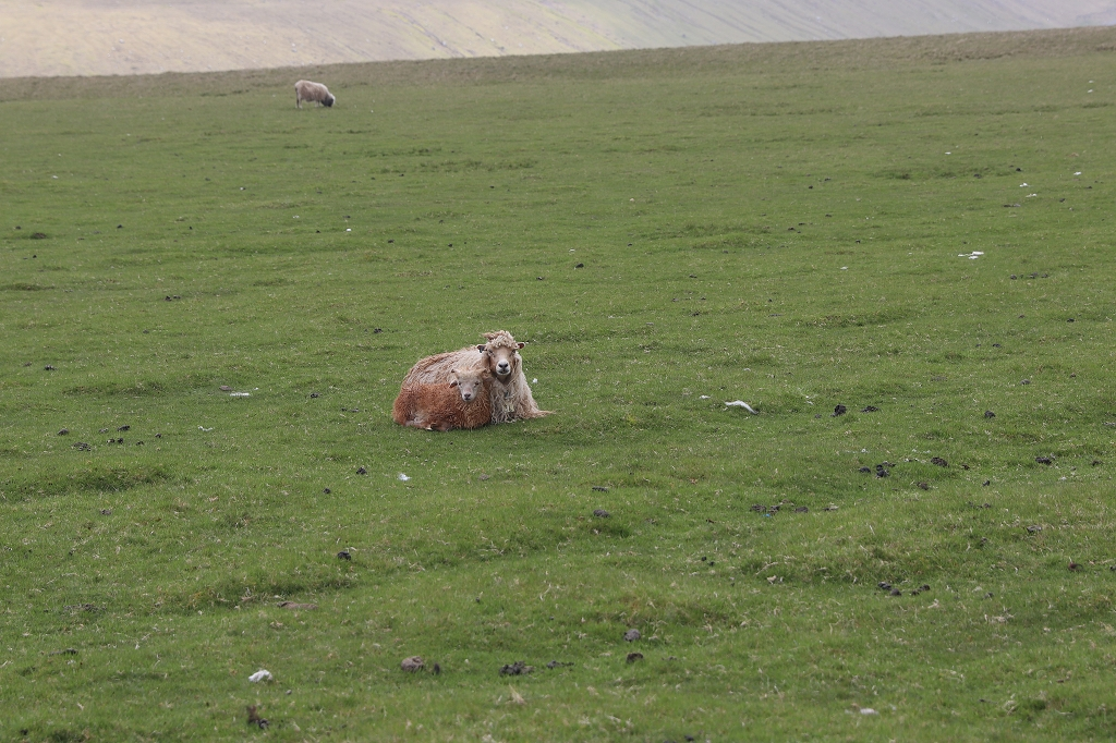 Mal wieder Schafe auf den Färöer