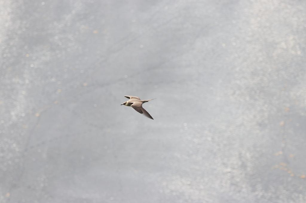 Schmarotzerraubmöwe (Parasitic Jaeger; Stercorarius parasiticus) am Kap Dyrhólaey