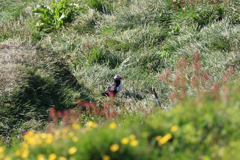 Papageitaucher (Arctic Puffin; Fratercula arctica) am Kap Dyrhólaey