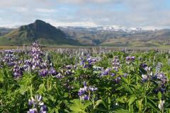 Aussichtspunkt an der Ringstraße und Lupinenfelder auf Island
