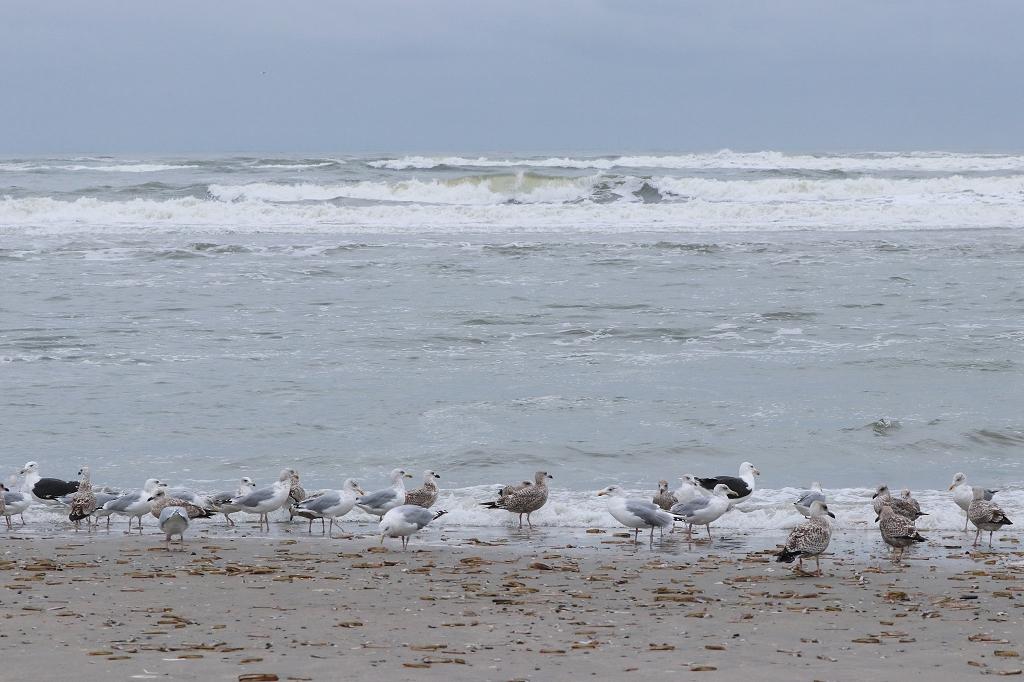 Silbermöwen und Mantelmöwen am Strand von Juist