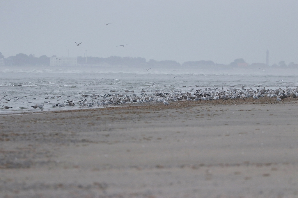 Möwen am Strand von Juist