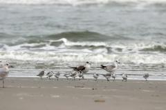 Sanderlinge und Möwen am Strand von Juist