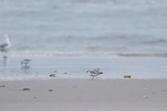 Sanderlinge am Strand von Juist