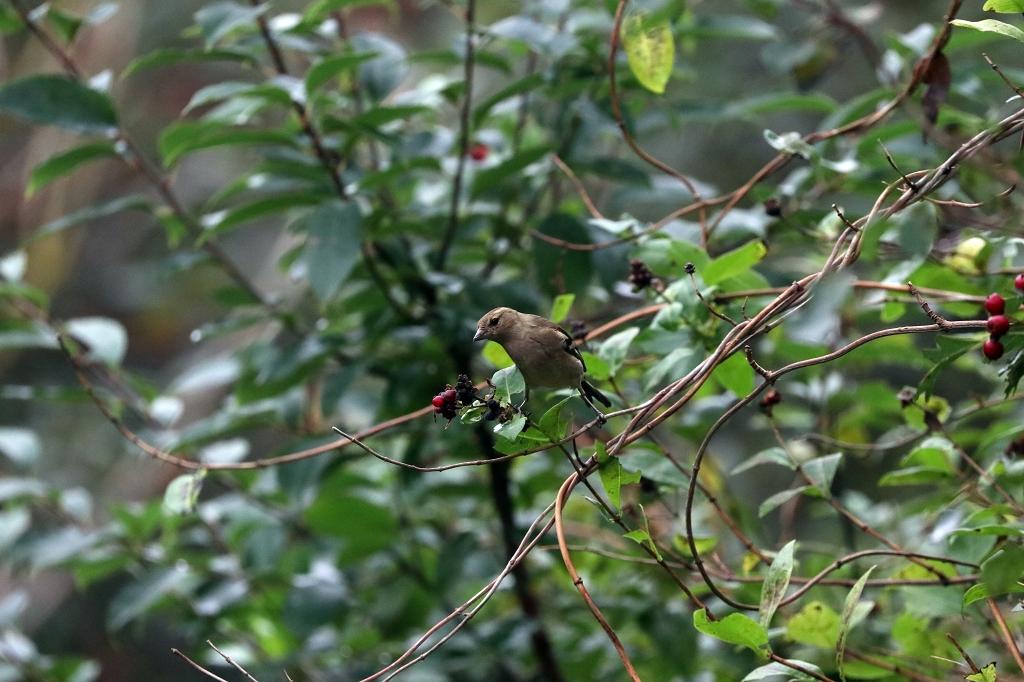 Fahrradtour in den Westen der Insel Juist - Grünfink oder Stieglitz Weibchen