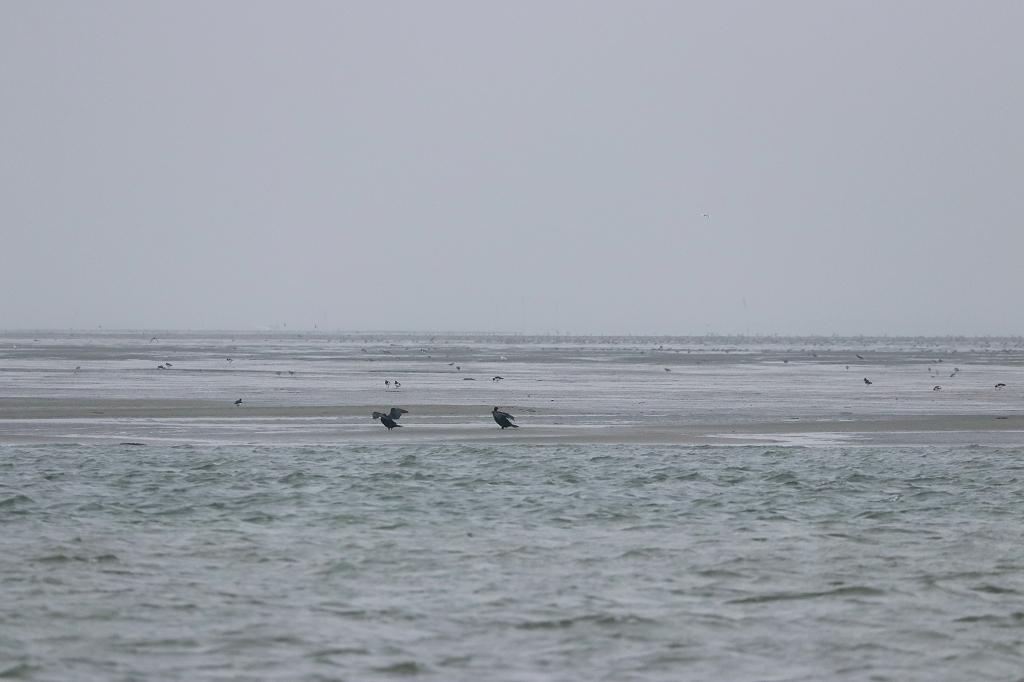 Vogelausflug zur Insel Memmert - Kormorane beim Trocknen des Gefieders