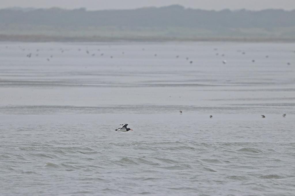 Vogelausflug zur Insel Memmert- Austernfischer im Flug