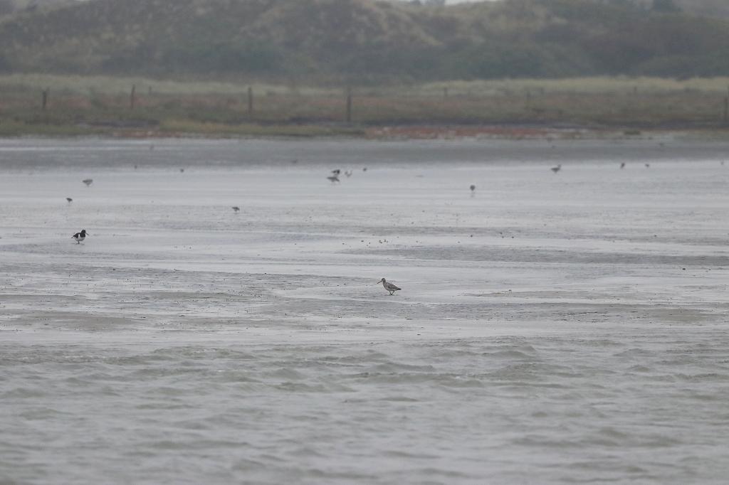 Vogelausflug zur Insel Memmert - Pfuhlschnepfe