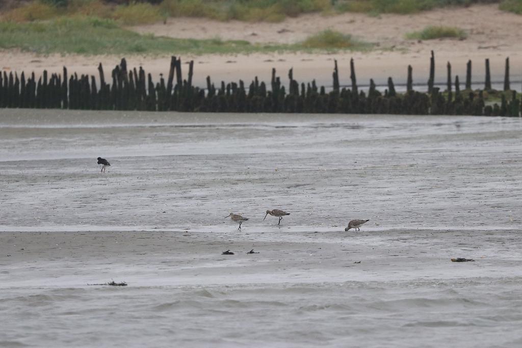 Vogelausflug zur Insel Memmert - Pfuhlschnepfen