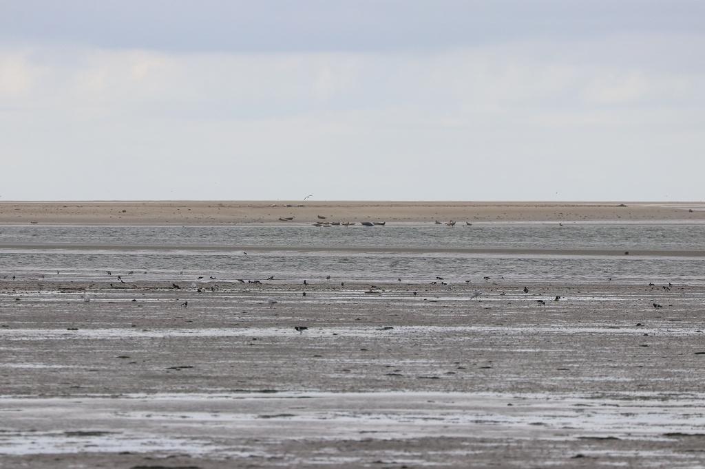 Seehunde auf der Kachelotplate