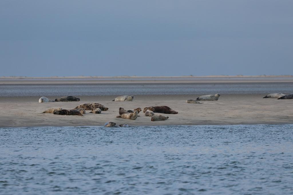 Seehunde auf der Rückfahrt von Memmert nach Juist