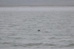 Vogelausflug zur Insel Memmert - Seehund