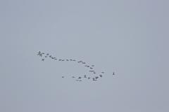 Vogelausflug zur Insel Memmert - Pfeifenten im Flug