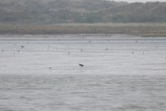 Vogelausflug zur Insel Memmert - Austernfischer auf Nahrungssuche