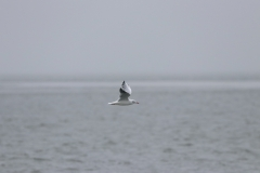 Vogelausflug zur Insel Memmert - Lachmöwe im Winteroutfit