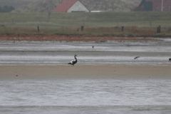 Vogelausflug zur Insel Memmert - Eiderente