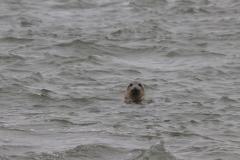 Vogelausflug zur Insel Memmert - neugieriger Seehund