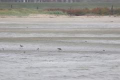 Vogelausflug zur Insel Memmert - Pfuhlschnepfen und Sandregenpfeifer