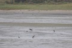 Vogelausflug zur Insel Memmert - Austernfischer und Pfuhlschnepfen