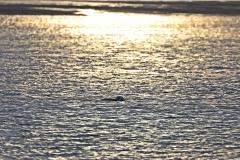 Neugieriger Seehund auf der Rückfahrt von Memmert nach Juist