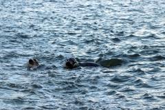 Neugierige Seehunde auf der Rückfahrt von Memmert nach Juist