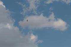 Ein Adler zieht seine Kreise über Baschi