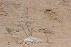 Wüstenrennmäuse im Altyn-Emel-Nationalpark