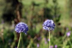 Wilde Blumen im Saty Tal